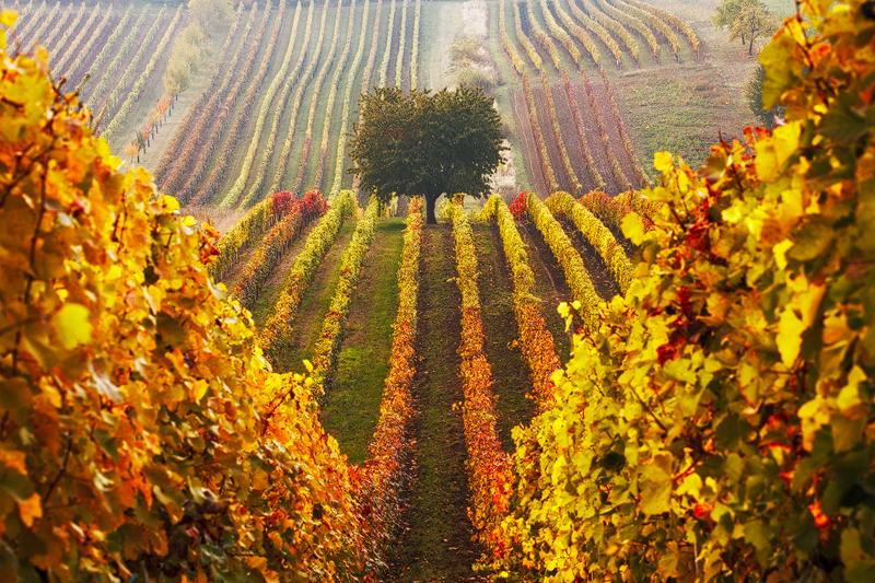podzimni-vinice-610-1